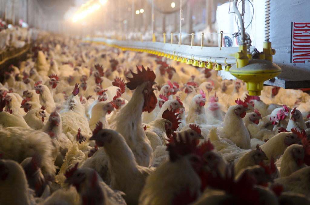 FIC Tackles its First Contract Poultry Grower Case